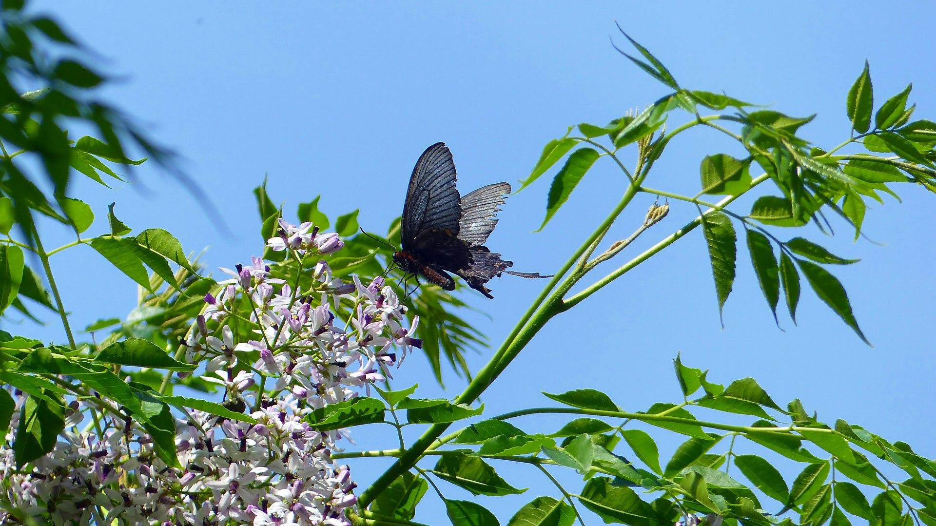 蝶と栴檀_a0185081_13493079.jpg