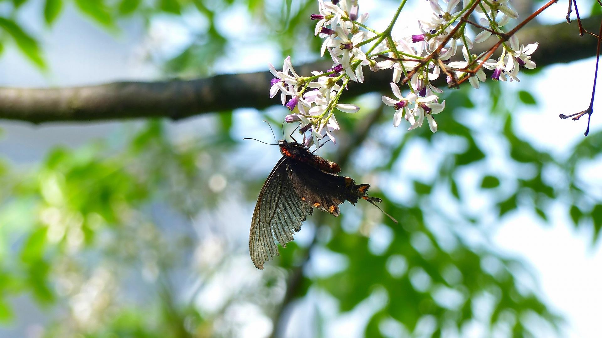 蝶と栴檀_a0185081_13494110.jpg