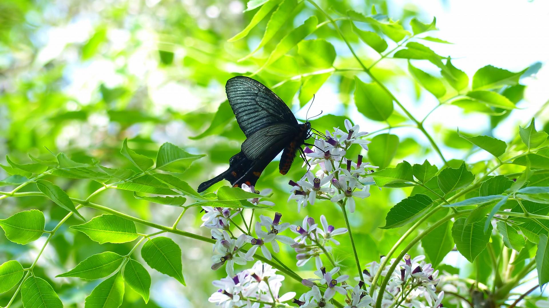 蝶と栴檀_a0185081_13495240.jpg