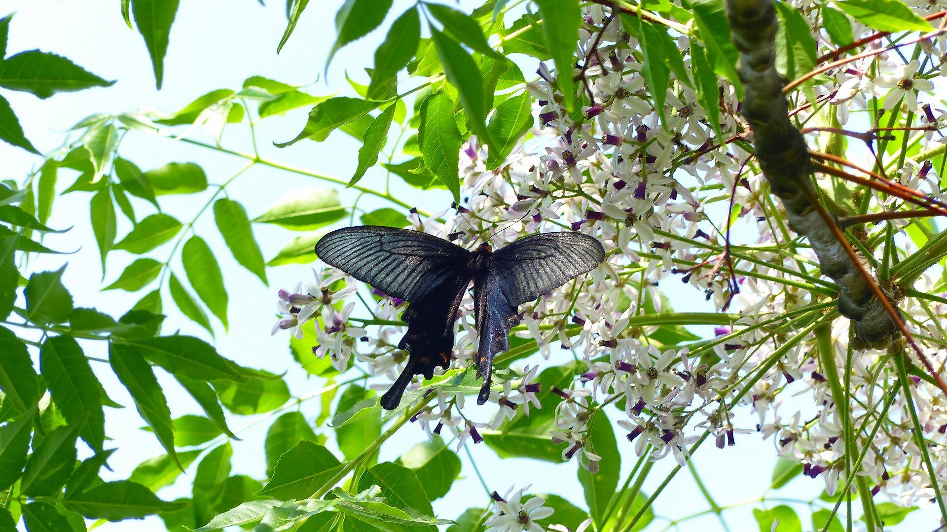 蝶と栴檀_a0185081_13501460.jpg
