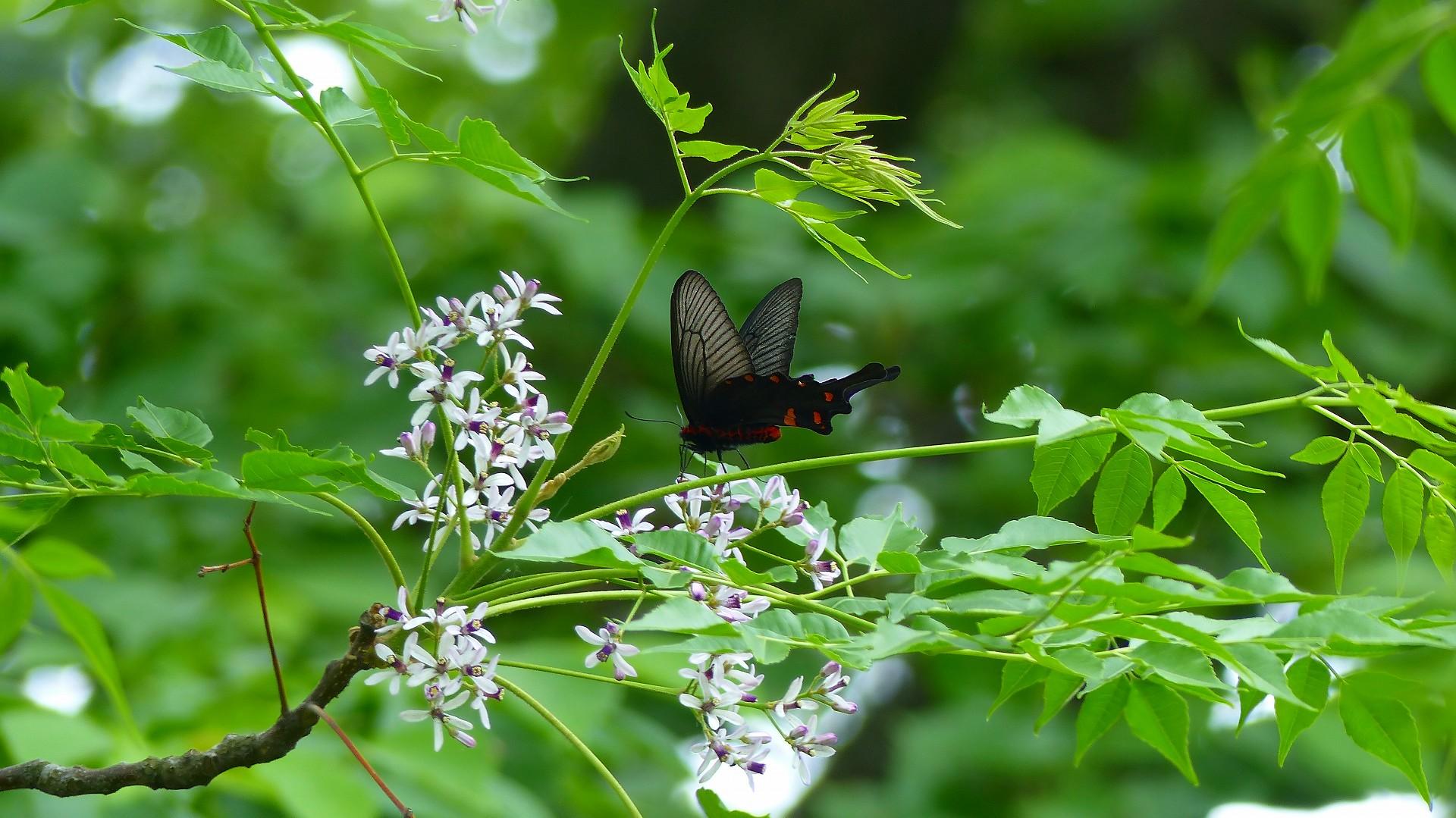 蝶と栴檀_a0185081_13502542.jpg