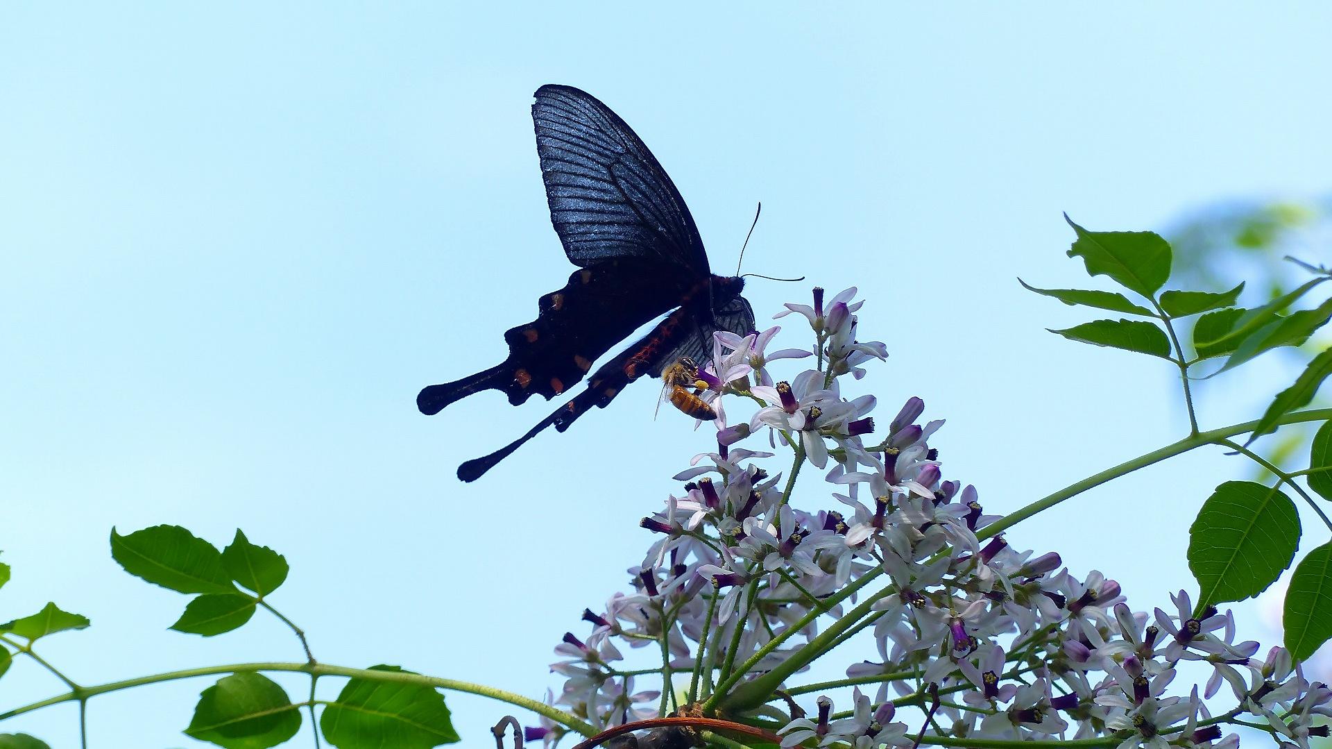 蝶と栴檀_a0185081_1350342.jpg
