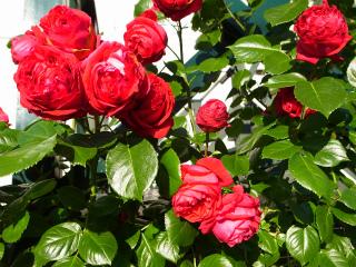 バラが咲いた_f0059988_962944.jpg