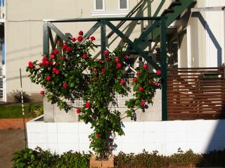 バラが咲いた_f0059988_964937.jpg