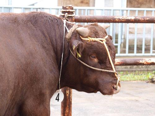 ハーメルンの牛選び_f0236291_829499.jpg