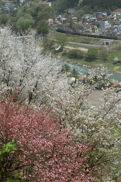 桜咲く山と昭和の汽車 - 2015年桜・上越線 -  _b0190710_23595133.jpg