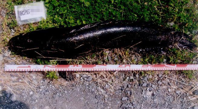 2014ライギョフォトダ―ビー エントリーフィッシュの中から_a0153216_16564249.jpg