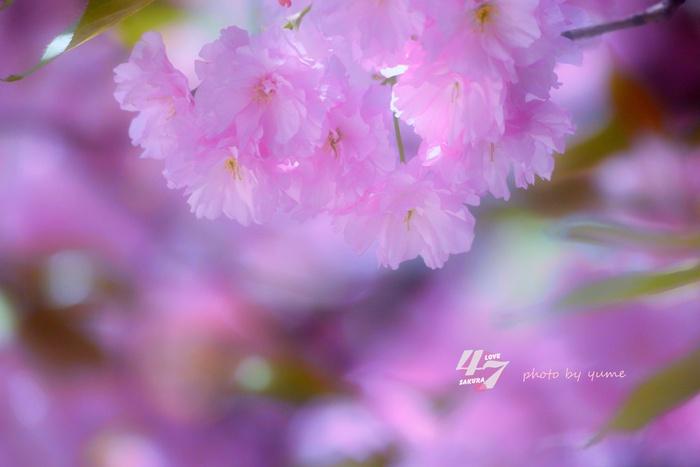 圧倒的桜。2015_a0322950_21301380.jpg