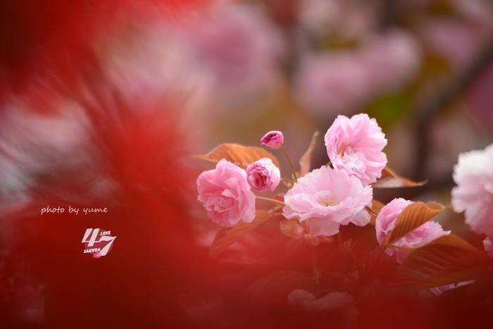 圧倒的桜。2015_a0322950_2132469.jpg