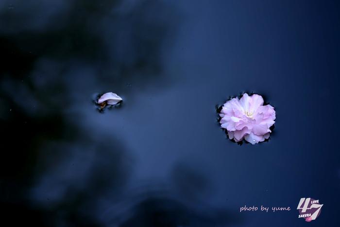 圧倒的桜。2015_a0322950_21342238.jpg