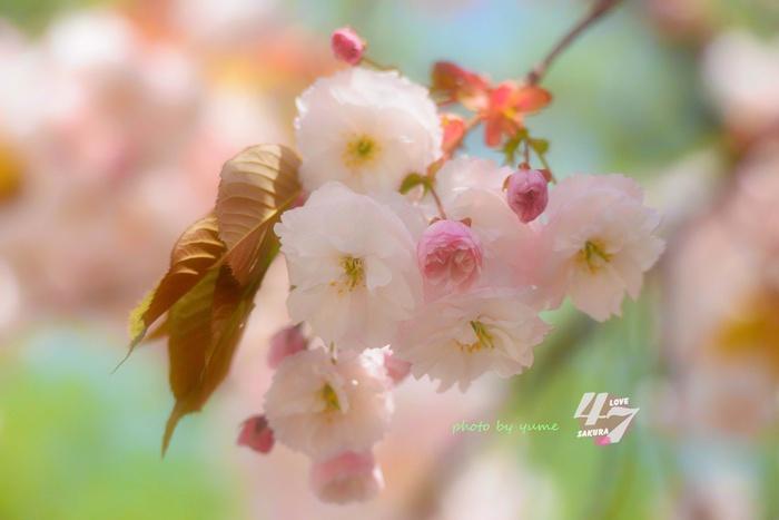 圧倒的桜。2015_a0322950_2156137.jpg