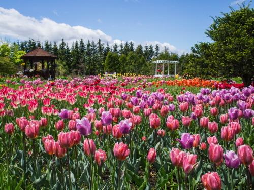紫竹おばあちゃんの幸福の庭・・チューリップが満開!_f0276498_23335392.jpg