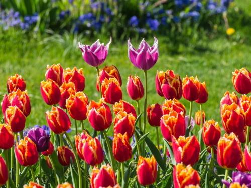 紫竹おばあちゃんの幸福の庭・・チューリップが満開!_f0276498_23341764.jpg