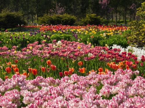 紫竹おばあちゃんの幸福の庭・・チューリップが満開!_f0276498_23344154.jpg