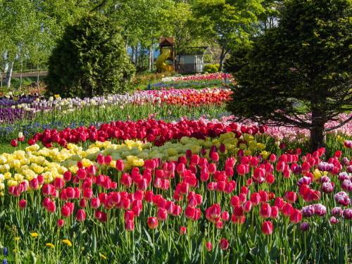 紫竹おばあちゃんの幸福の庭・・チューリップが満開!_f0276498_23352566.jpg