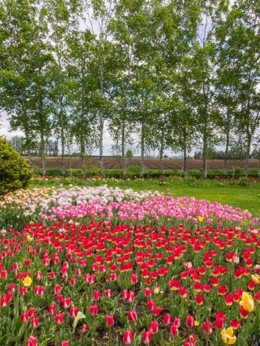 紫竹おばあちゃんの幸福の庭・・チューリップが満開!_f0276498_23370986.jpg