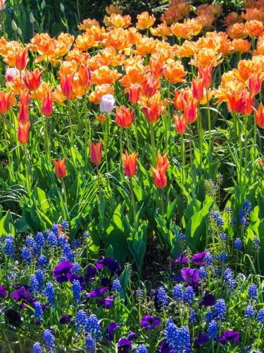 紫竹おばあちゃんの幸福の庭・・チューリップが満開!_f0276498_23373098.jpg