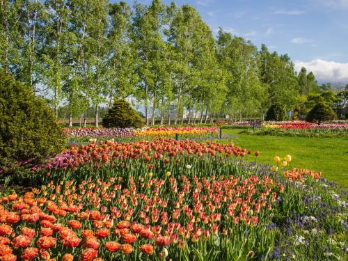 紫竹おばあちゃんの幸福の庭・・チューリップが満開!_f0276498_23380320.jpg
