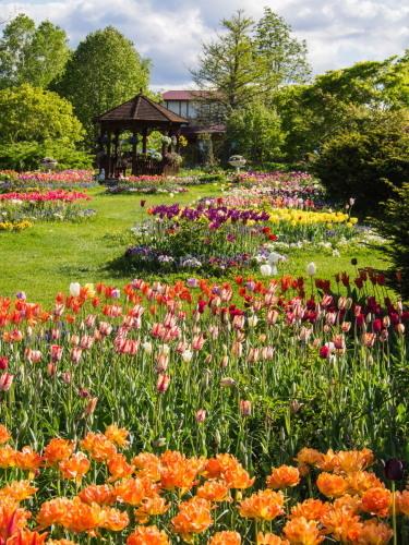 紫竹おばあちゃんの幸福の庭・・チューリップが満開!_f0276498_23382550.jpg