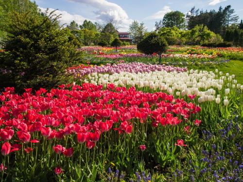 紫竹おばあちゃんの幸福の庭・・チューリップが満開!_f0276498_23385477.jpg