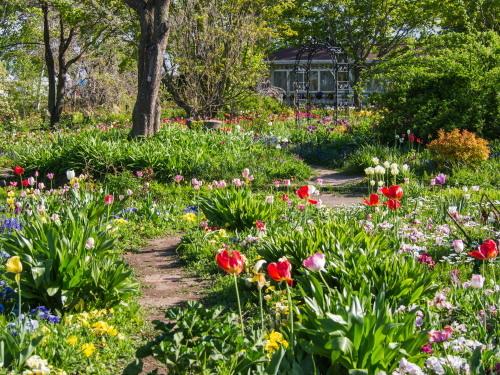 紫竹おばあちゃんの幸福の庭・・チューリップが満開!_f0276498_23392772.jpg
