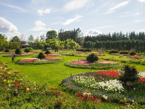 紫竹おばあちゃんの幸福の庭・・チューリップが満開!_f0276498_23395368.jpg