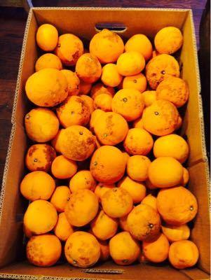 2015.05.23 自家製オレンジピールの、オレンジヨーグルトかき氷。_a0145471_3172244.jpg