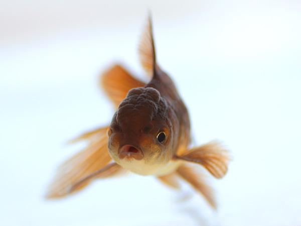 ドイツ鱗形態の金魚_a0199486_16581573.jpg