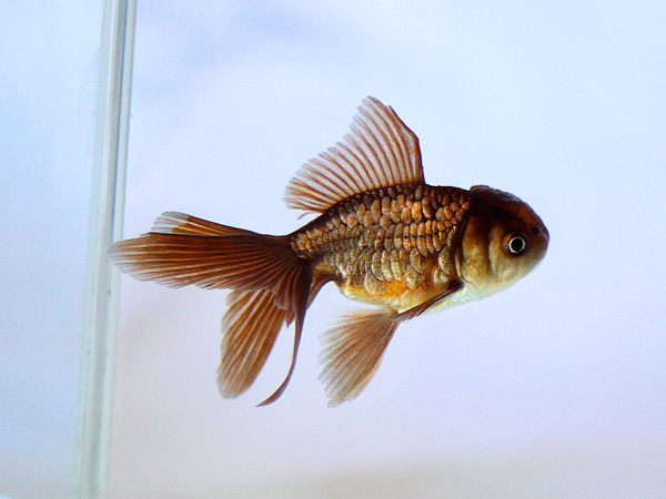 ドイツ鱗形態の金魚_a0199486_16592021.jpg