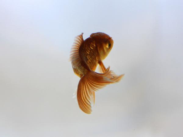 ドイツ鱗形態の金魚_a0199486_1701788.jpg