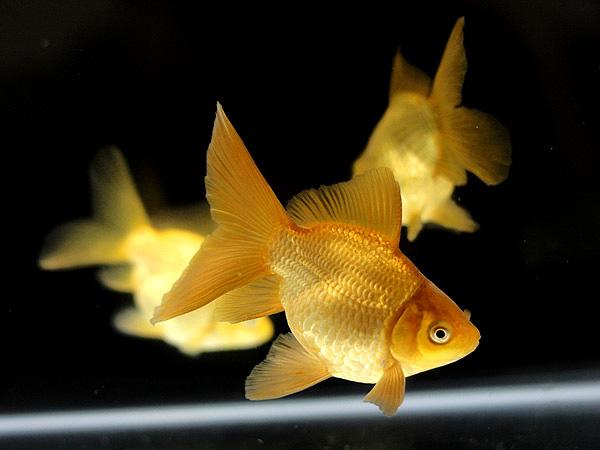ドイツ鱗形態の金魚_a0199486_1738272.jpg