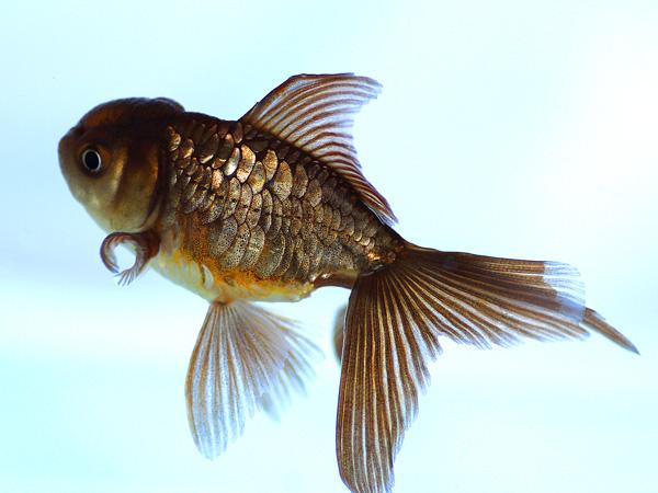 ドイツ鱗形態の金魚_a0199486_1744044.jpg
