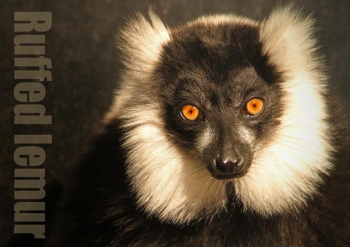 エリマキキツネザル:Ruffed lemur_b0249597_7433394.jpg