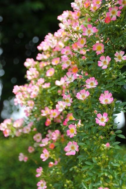【生田緑地ばら苑】part 1_f0348831_20085274.jpg