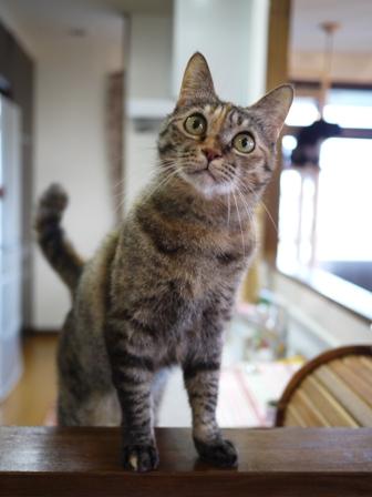 猫のお留守番 ワサビちゃん天ちゃんう京くん編。_a0143140_19473863.jpg