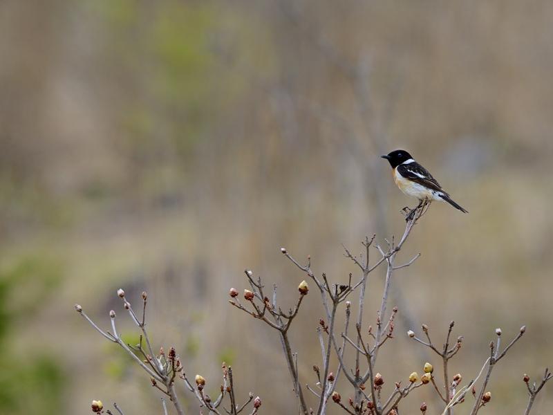 湿原のノビタキ2015(1)_a0204089_2221136.jpg