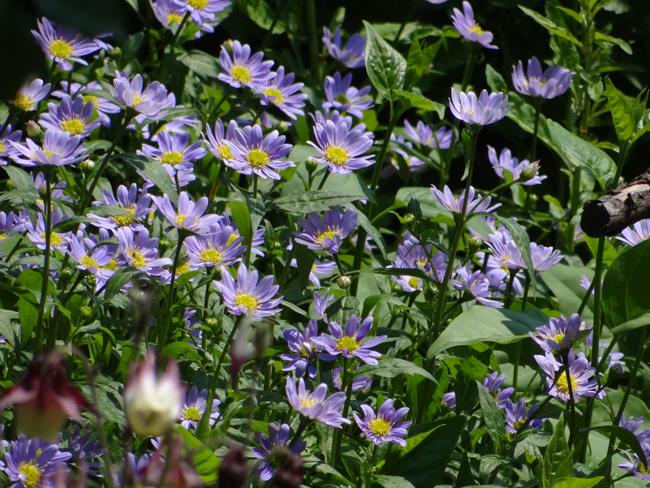 薄紫の都忘れと、昔々からのヤマオダマキなど_a0136293_19202257.jpg