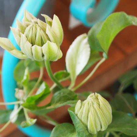 クレマチスの苗咲きだしました_a0292194_15493512.jpg