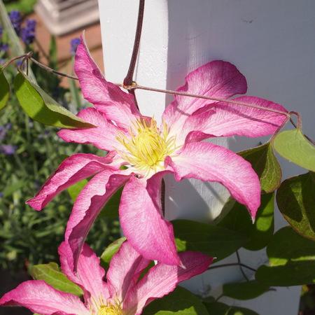 クレマチスの苗咲きだしました_a0292194_19353949.jpg