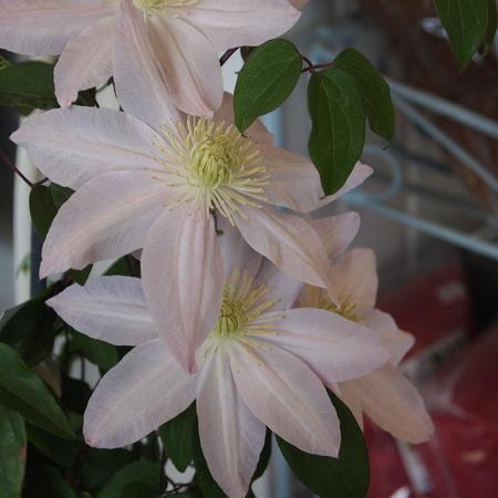クレマチスの苗咲きだしました_a0292194_19355271.jpg