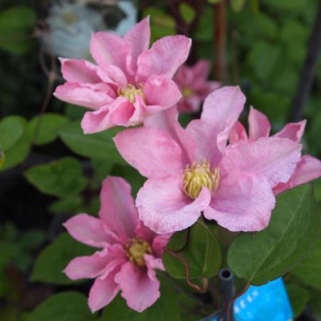 クレマチスの苗咲きだしました_a0292194_19361367.jpg