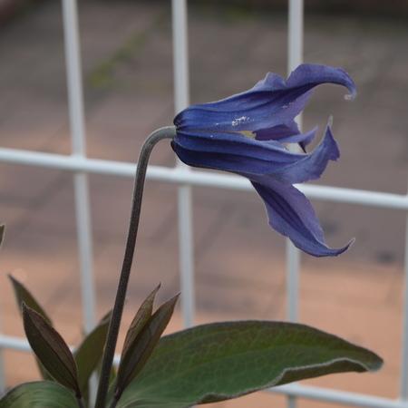 クレマチスの苗咲きだしました_a0292194_19362587.jpg