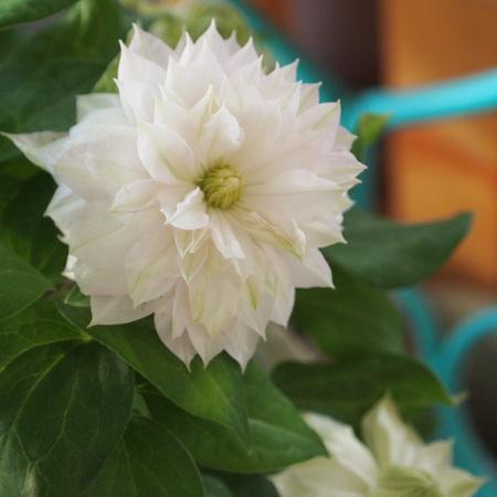 クレマチスの苗咲きだしました_a0292194_1941433.jpg
