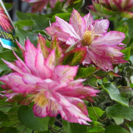 クレマチスの苗咲きだしました_a0292194_19415870.jpg