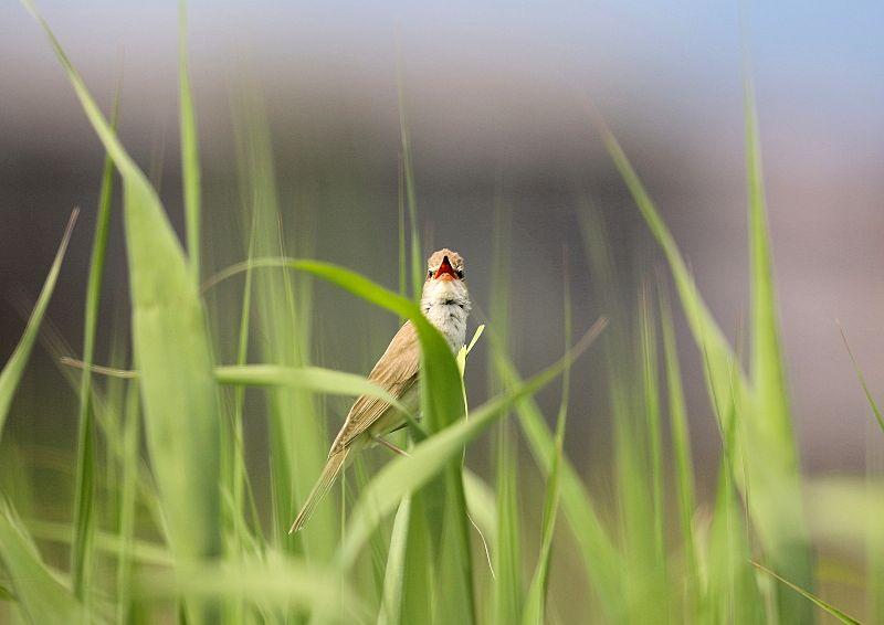 オオヨシキリは「ギョギョシ・・・」と鳴く声から『行々子』とも呼ばれます_b0346933_19311288.jpg