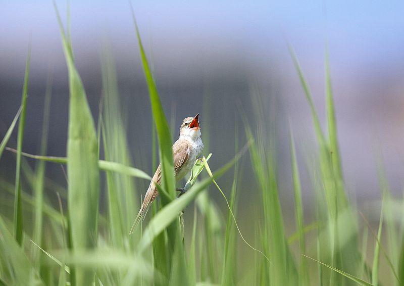 オオヨシキリは「ギョギョシ・・・」と鳴く声から『行々子』とも呼ばれます_b0346933_19312049.jpg