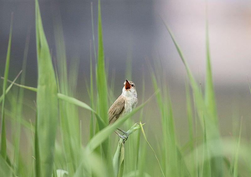 オオヨシキリは「ギョギョシ・・・」と鳴く声から『行々子』とも呼ばれます_b0346933_193154.jpg