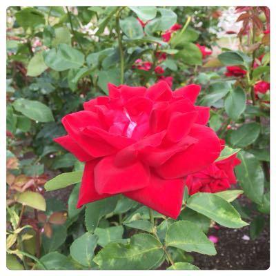薔薇にはトゲがある!_c0170233_15101936.jpg