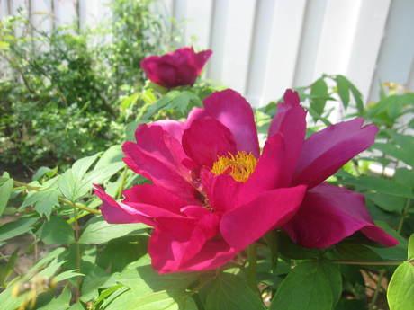 ブログをさぼったら色々なお花が咲いてきた~_a0279743_1551986.jpg