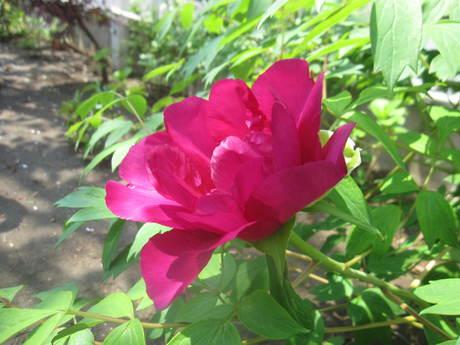 ブログをさぼったら色々なお花が咲いてきた~_a0279743_1553179.jpg